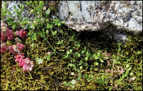 Arenaria serpillyfolia (3)