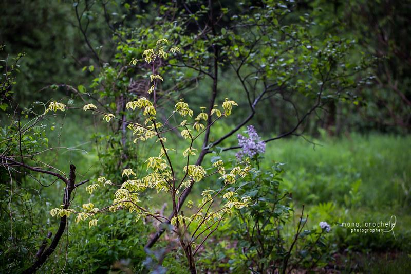 Cornus alternifolia Golden Shadows - Page 2 27427735811_ea528f2f28_c