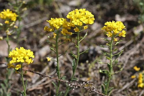 Alyssum gmelinii (Brassicaceae)