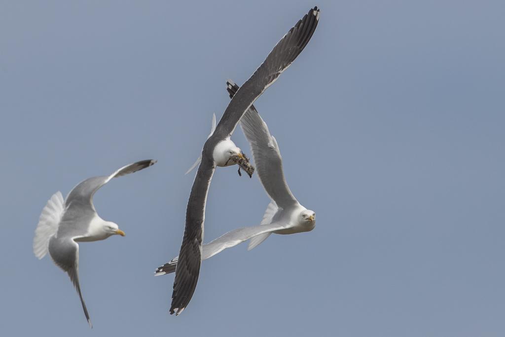 Herring Gull Isle of May,Scotland 2016