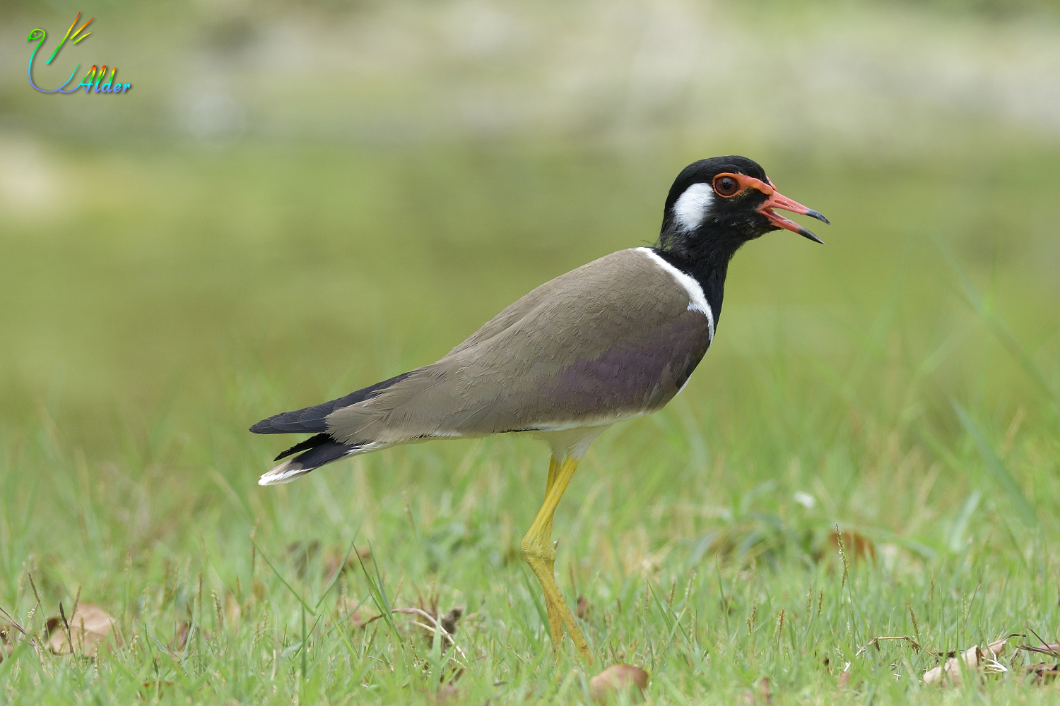Red-wattled_Lapwing_6617
