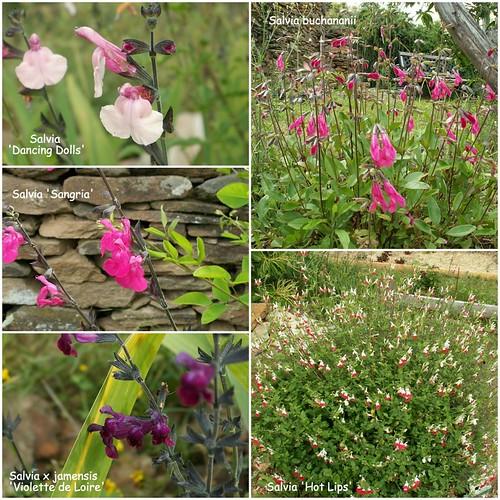 Salvia - les floraisons du moment - Page 16 27535723035_91ba55192e