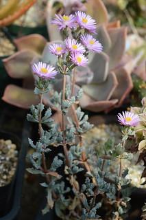 DSC_3051 Oscularia deltoides オスクラリア デルトイデス 琴爪菊