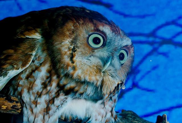 Eastern Screech Owl_2