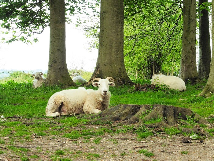 St Catherine's Hill Sheep