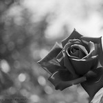 Rosa en blanco y negro / Black & White Rose. (Explore #18 23/07/13)