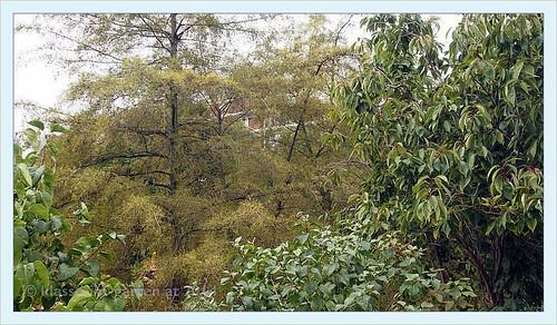 Paris jardin catherine laboure alnus glutinosa 39 imperial for Jardin catherine laboure