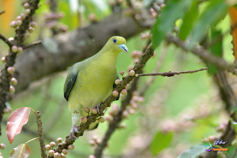 Japanese_Green_Pigeon_8701