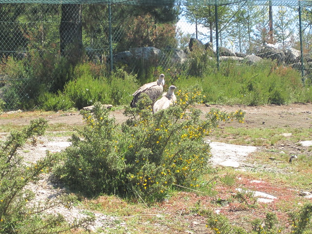 Buitre Leonado en Avifauna Parque Zoológico Ornitológico