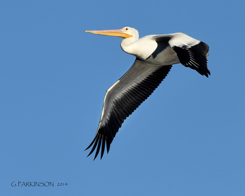 Great Egret On Prowl >> Birds and Wildlife Only!!! | Flickr - Photo Sharing!