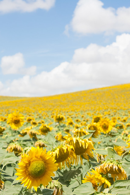 Sunflower fields in Andalusia, Spain
