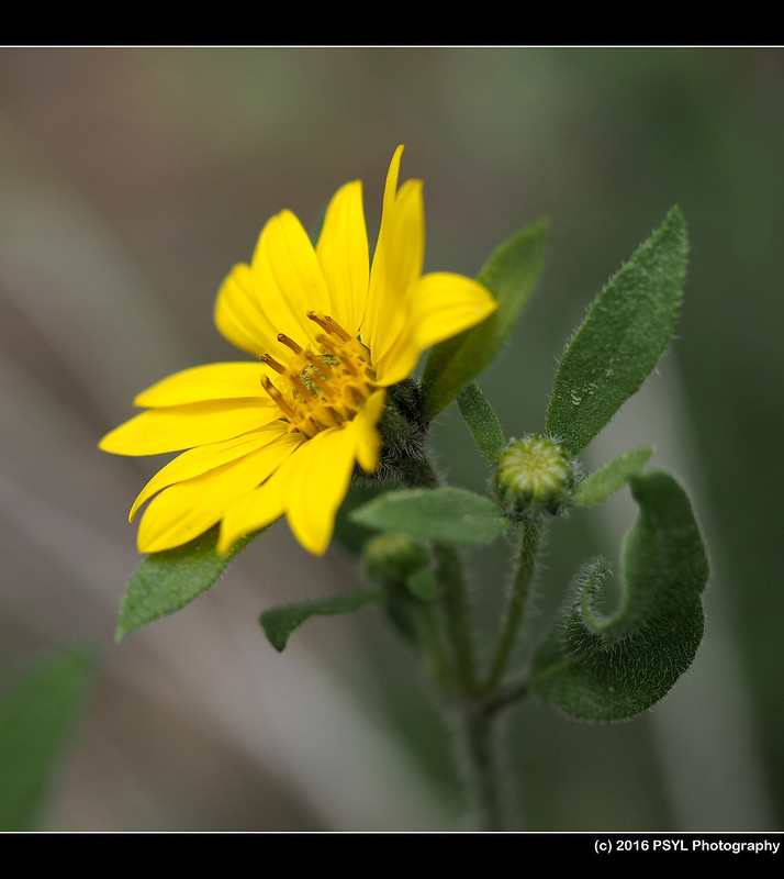 Sunflower (Helianthella sp.)
