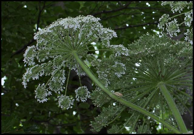 Heracleum mantegazzianum (1)