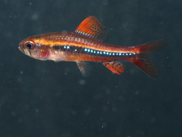 PA315929 珍珠燈魚