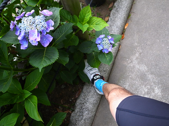 hydrangea and my leg
