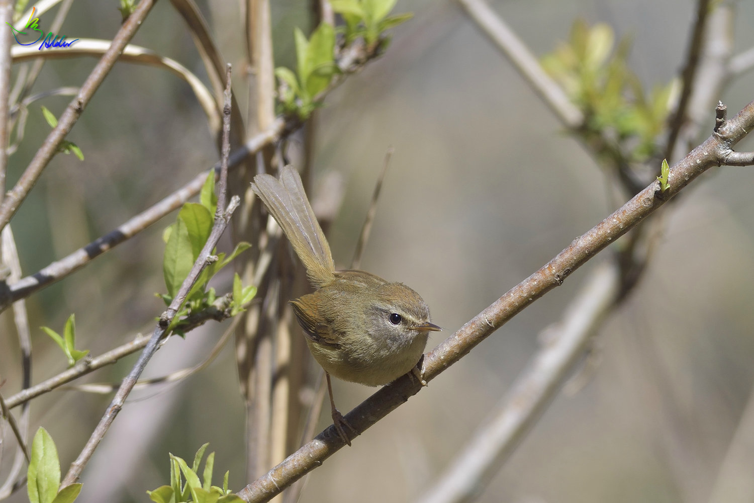 Yellow-bellied_Bush_Warbler_5070