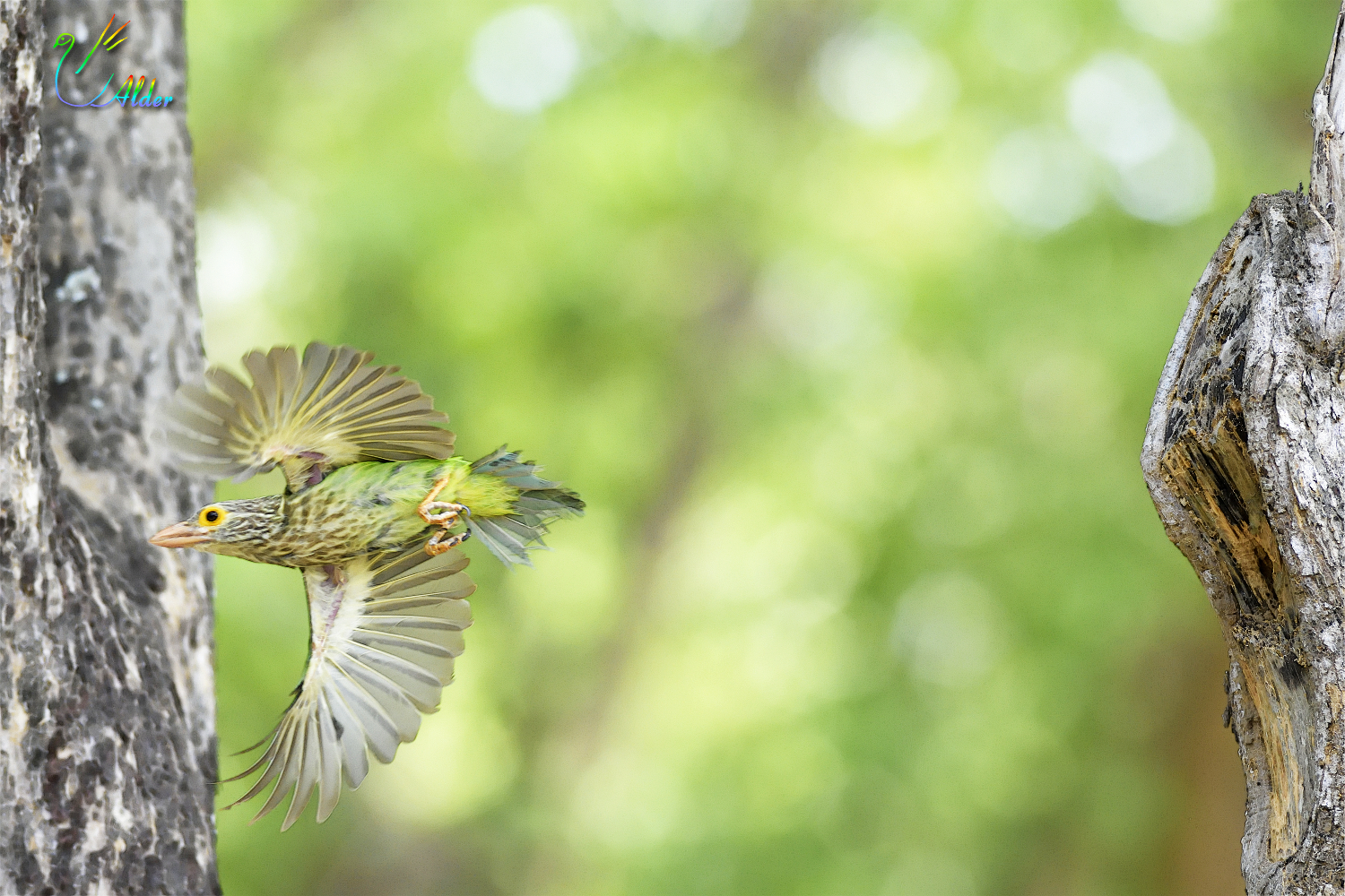 Lineated_Barbet_6867