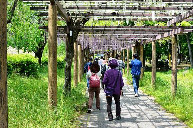 名城公園_藤の回廊