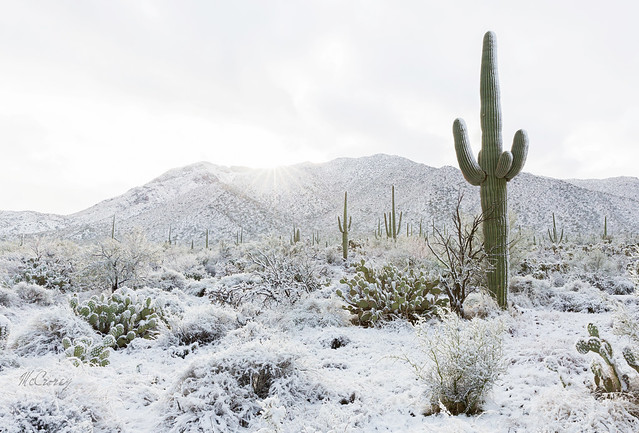 Saguaro Cactus Standing in the Snow