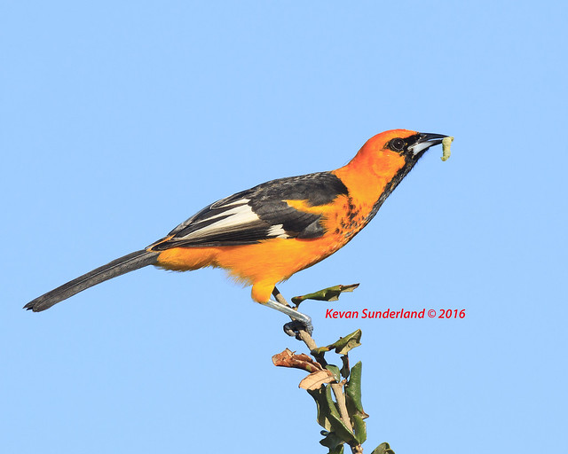 Spot-breasted Oriole With Worm