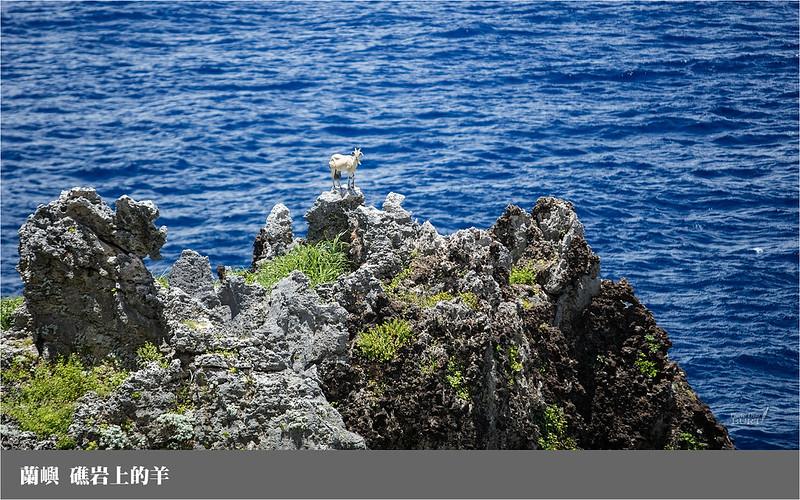 蘭嶼_礁岩上的羊