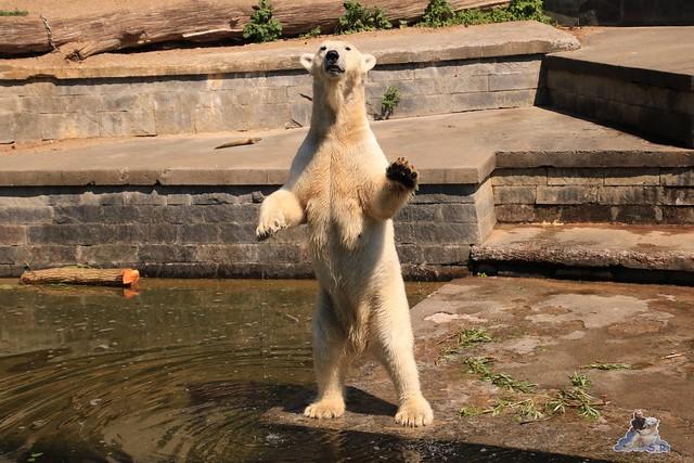 Eisbär Fiete im Zoo Rostock 04.06.2016   0153
