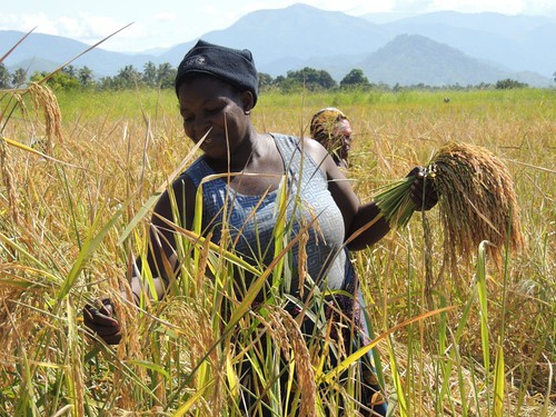 Matilda Msangila, a farmer in Mahutanga Village, Kilombero District Tanzania harvests salt tolerant rice variety from her paddy field