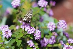 Butterfly @f1.4