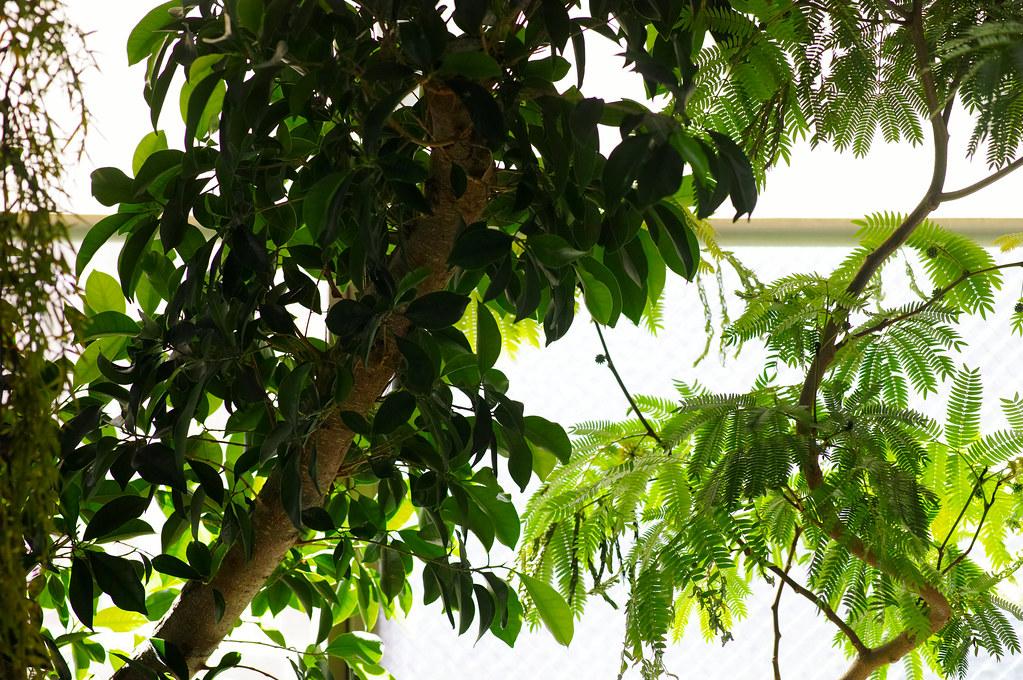 Ficus microcarpa & Pithecellobium confertum
