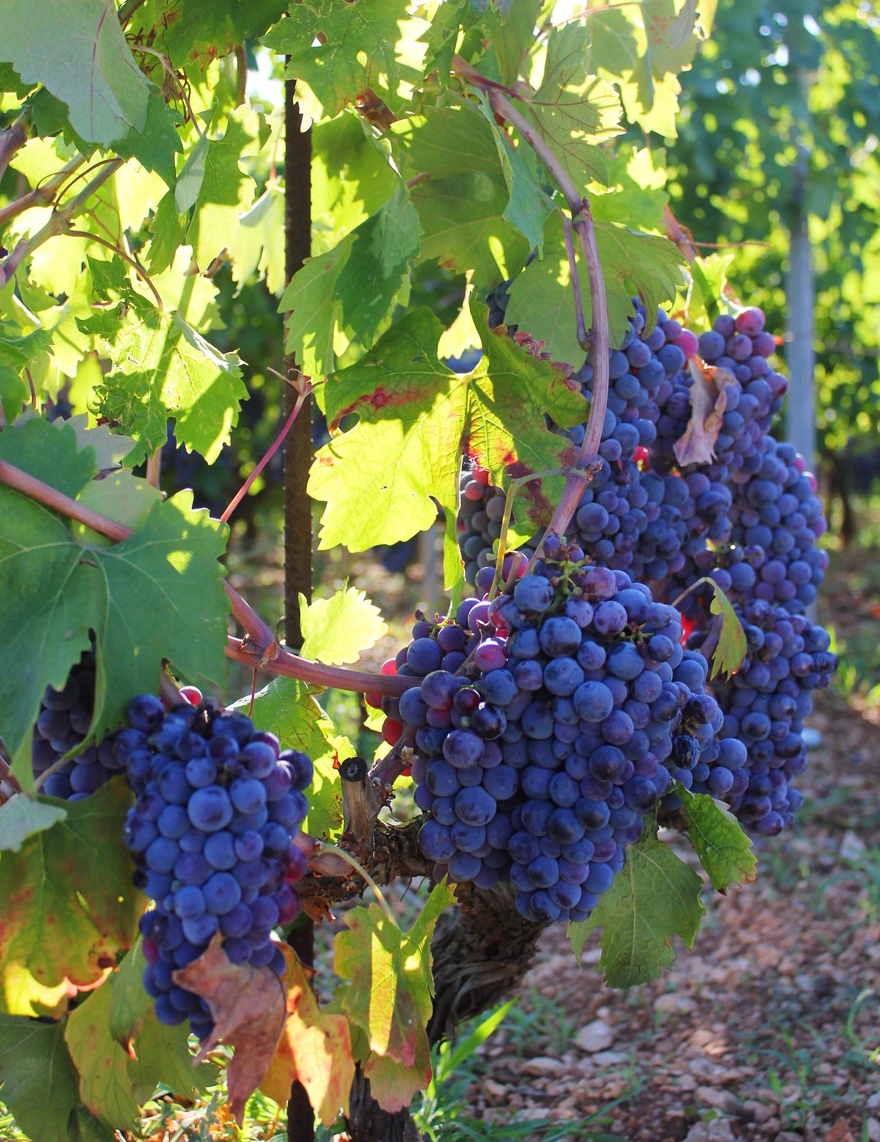 Hvar Croatia grape vines