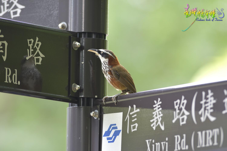 Taiwan_Scimitar_Babbler_4440