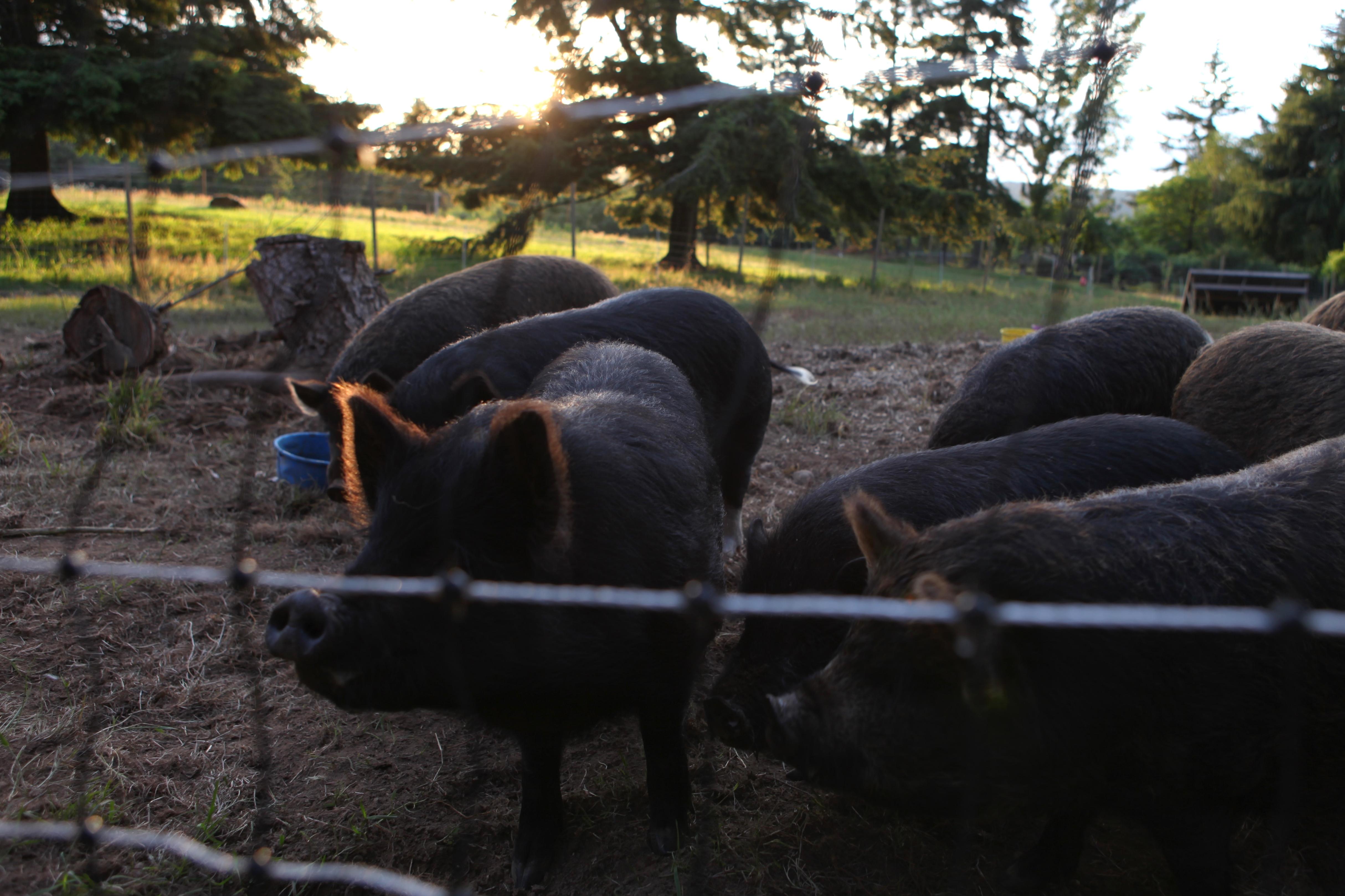 Pig Pen 4