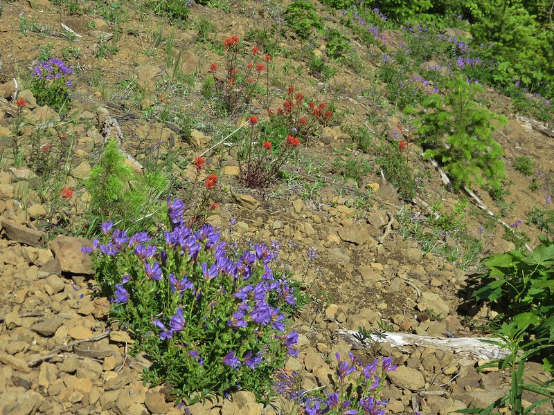 Penstemon and paintbrush along the Huffman Peak Trail