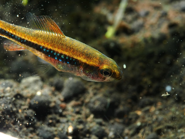 PC317139 珍珠燈魚