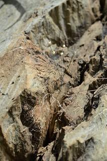 Drimia(Schizobasis) sigmoidea ドリミア シグモイデア