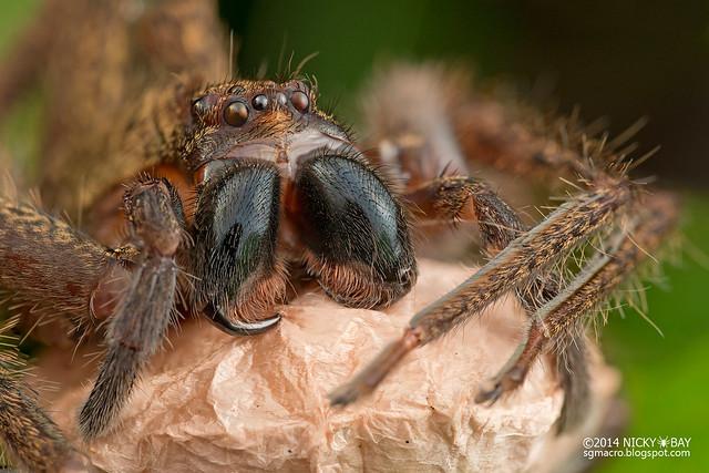 Huntsman spider (Heteropoda sp.) - DSC_1534
