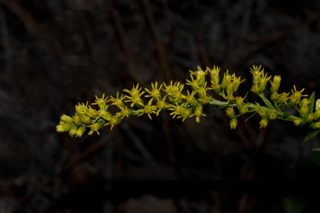Wildflower - Nevada goldenrod (Solidago spectabilis)