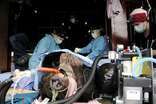 Vets conducted an intense surgery to save Oliver on the way to CBRC 2