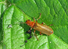 Soldier Beetle - Cantharis cryptica