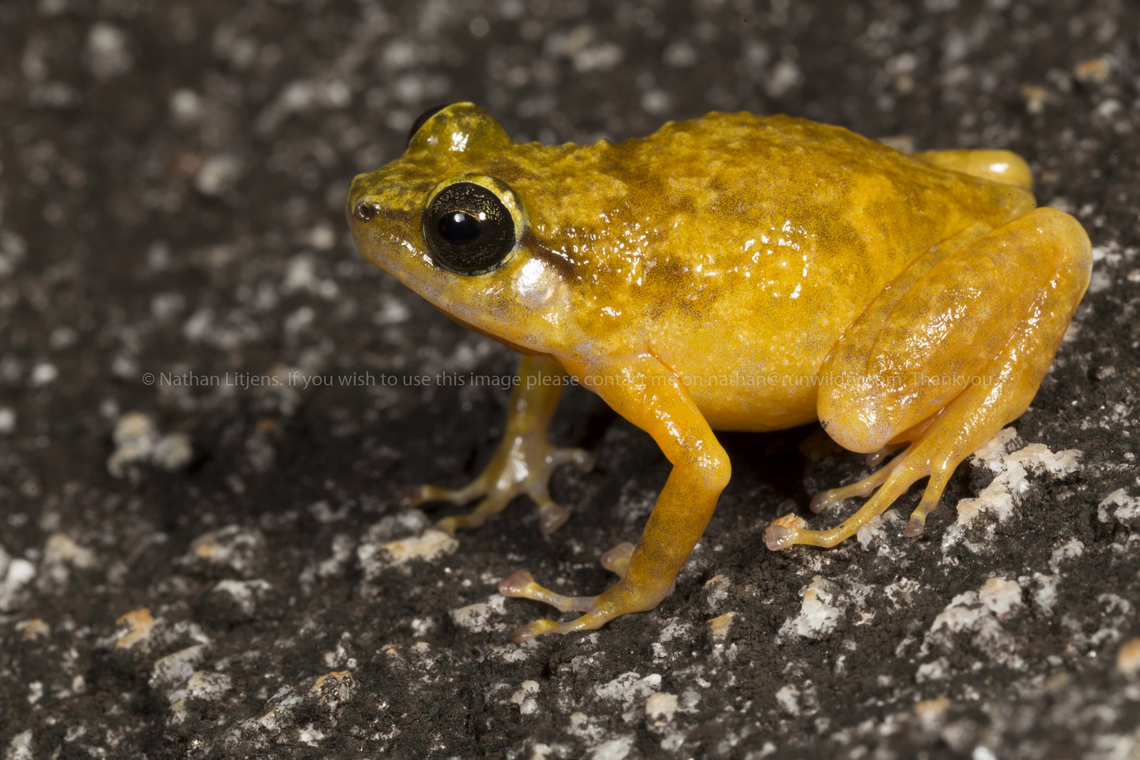 Black mountain nursery frog (Cophixalus saxitilis)