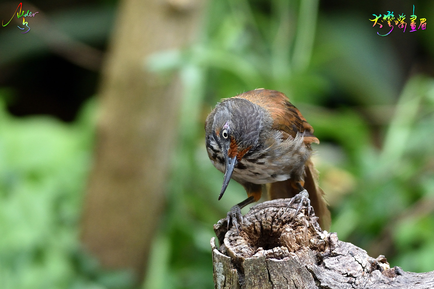 Rusty-cheeked_Scimitar_Babbler_5612