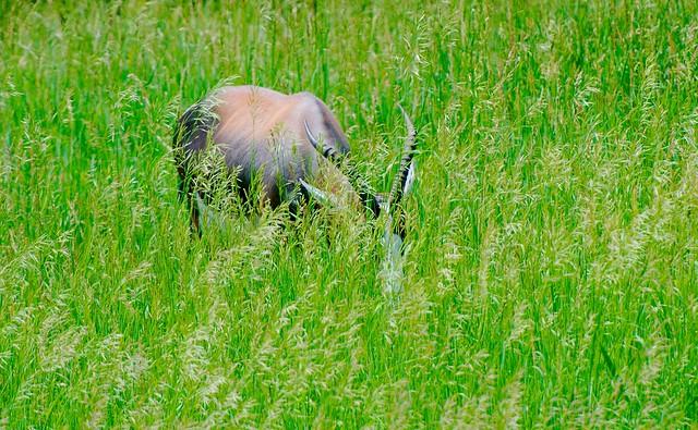 Antelope_2