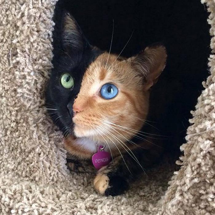 Удивительная двуликая кошка Венера - ПоЗиТиФфЧиК - сайт позитивного настроения!