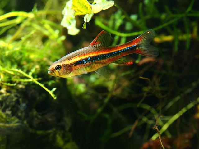 P1177861  珍珠燈魚