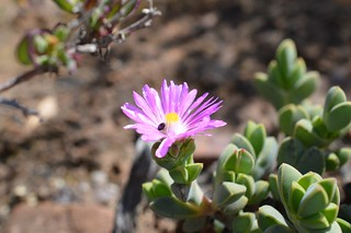 Braunsia apiculata  ブラウンシア アピクラータ