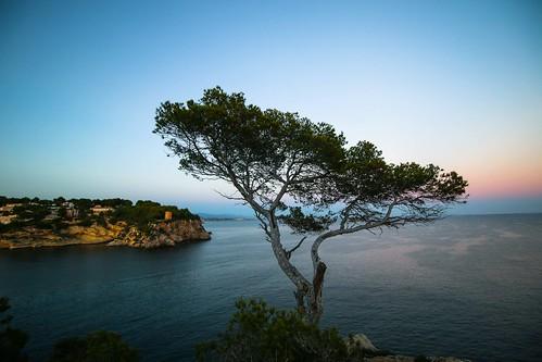 Pino solitario en cala Figuera. Mallorca