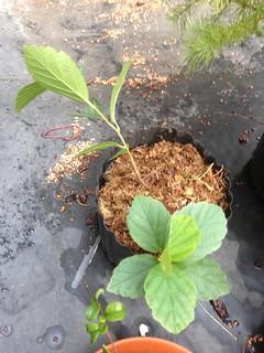 Hamamelis vernalis 'Carnea' (Cultivar of Ozark Witch-hazel)