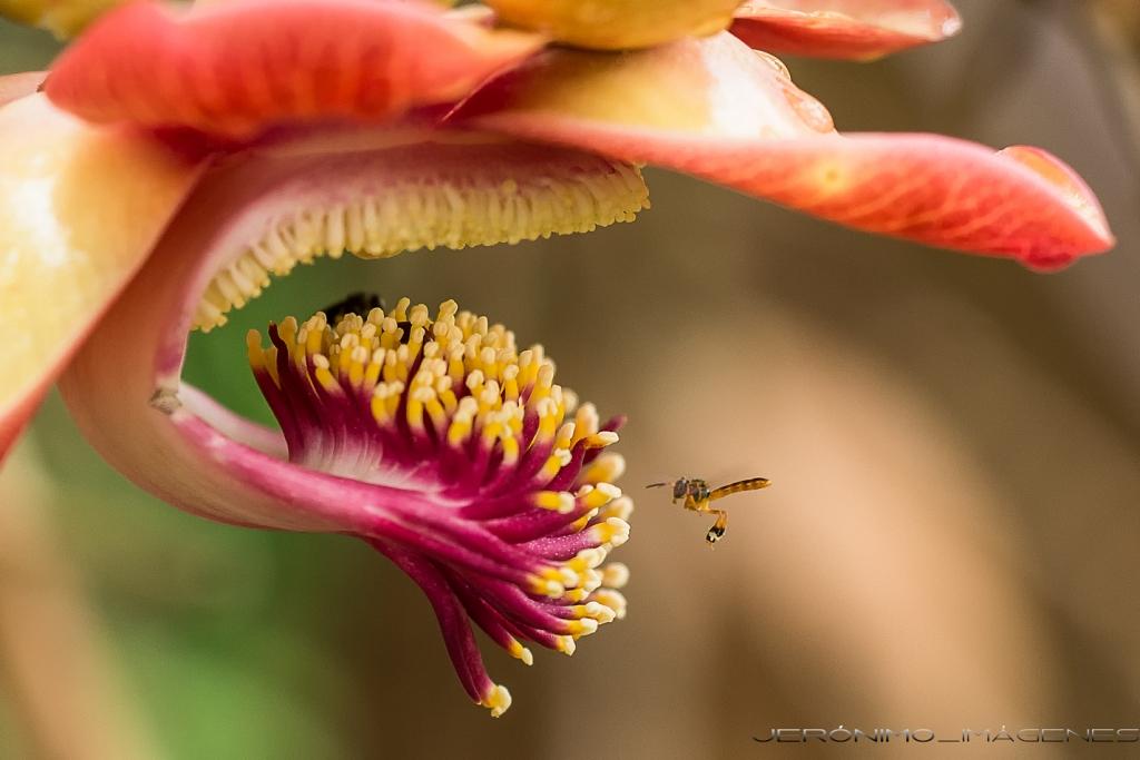 FL01 FL19 Jero (España) - Insecto - Tomada en San Luis (Departamento de Loreto - Selva peruana - Perú) el 241115