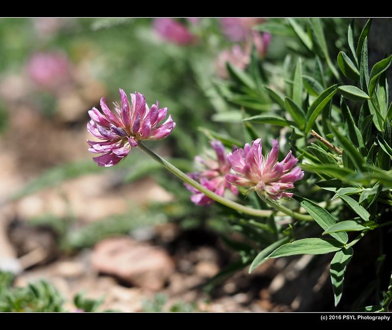 Parry's Trifolium (Trifolium parryi)