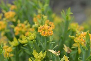 Euphorbia dregeana ユーフォルビア ドレゲアナ